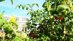 Dieses Bild zeigt Tomaten im CODICO Central Park